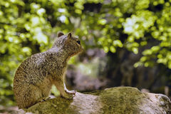 Uinta Groung Squirrel. Close portrait of a cute Uinta Ground Squirrel Royalty Free Stock Images