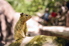 Uinta Groung Squirrel. Close portrait of a cute Uinta Ground Squirrel Royalty Free Stock Photo