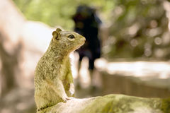 Uinta Groung Squirrel Royalty Free Stock Images