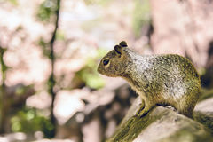 Uinta Groung Squirrel. Close portrait of a cute Uinta Ground Squirrel Royalty Free Stock Image