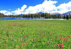 Uinta Wildflowers. Wildflowers in the Uinta Mountains, Utah, USA Stock Photos