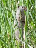 Uinta Zmielona wiewiórka w trawie Zdjęcie Royalty Free