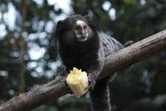 Uistitì che mangia una banana Fotografia Stock