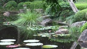 Uit de Amazone waterlily en kleinere waterlilies in de vijver van een gemodelleerde Japanse tuin in Australië stock footage