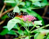 Uitdagende Vlinder Royalty-vrije Stock Foto