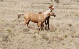 Uitdrukking van het de Verfpaard van Palomino van de dolkomische Gezichtsuitdrukking de Grappige Stock Foto's