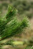 Uiteinde van de takken van een pijnboom in een bos stock foto