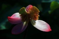 Uiteindelijk in cncondom behoort tot lotusbloem , kan het niet reproduceren behoort niet tot de genetische verscheidenheden, en k royalty-vrije stock fotografie