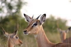 Uiteindelijk portret van een gazelle royalty-vrije stock foto's