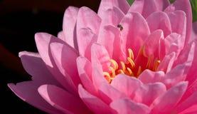 Uiteindelijke roze waterlelie stock afbeelding