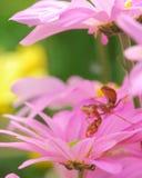 Uiterst klein insect op mooie roze bloem stock afbeeldingen
