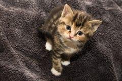 Uiterst klein katje Stock Fotografie