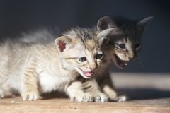 Uiterst klein katje die camera bekijken stock foto