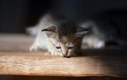 Uiterst klein katje die camera bekijken stock afbeeldingen