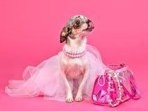 Uiterst kleine aantrekkingskrachthond met roze toebehoren Stock Foto
