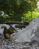 Uiterst kleine aardeekhoorn die zaden in het park eet royalty-vrije stock afbeeldingen