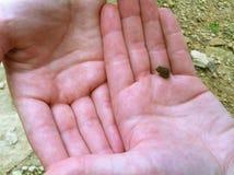 Uiterst kleine Babykikker op Handen Royalty-vrije Stock Afbeelding