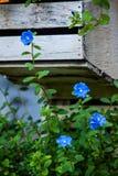 Uiterst kleine blauwe bloem, aardachtergrond Royalty-vrije Stock Afbeelding