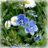 Uiterst kleine blauwe bloemen Stock Fotografie