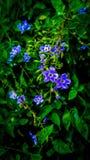 Uiterst kleine blauwe bloemen Royalty-vrije Stock Foto's