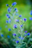 Uiterst kleine blauwe bosbloemen Royalty-vrije Stock Afbeeldingen