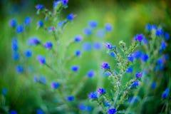 Uiterst kleine blauwe bosbloemen Stock Fotografie
