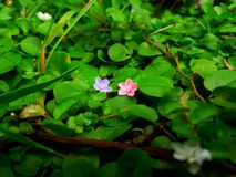 Uiterst kleine bloem twee Royalty-vrije Stock Foto