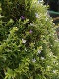 Uiterst kleine bloemen Stock Afbeelding