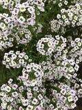 Uiterst kleine bloemen Royalty-vrije Stock Afbeelding