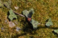 Uiterst kleine brand-gekleurde kever die door het bos tussen mos en klimop kruipen stock afbeeldingen