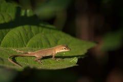 Uiterst kleine Bruine Anole op Groen Blad in Ochtendzon stock foto