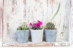 Uiterst kleine Cactussen in de Potten op Lichte Achtergrond stock foto