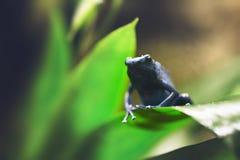 Uiterst kleine die kikker op blad wordt neergestreken stock afbeelding