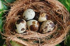 Uiterst kleine eieren in nest Royalty-vrije Stock Afbeelding