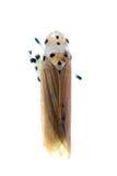 Uiterst kleine geïsoleerdel de cicademacro van het insectblad Stock Fotografie