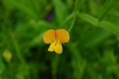 Uiterst kleine gele wilde bloem Royalty-vrije Stock Afbeelding
