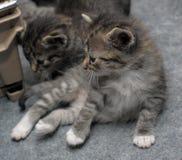 Uiterst kleine gestreepte katkatjes Stock Foto's