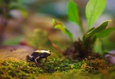 Uiterst kleine giftige kikkerzitting paitiently en nog op wat mos stock afbeelding