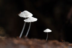 Uiterst kleine Giftige paddestoelen Stock Afbeelding