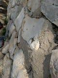 Uiterst kleine hagedis op witte rotsmuur Stock Fotografie