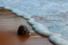 Uiterst kleine kokosnoot op het strand. Stock Afbeeldingen