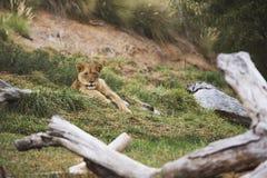 Uiterst kleine leeuwin Royalty-vrije Stock Fotografie