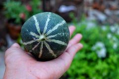 Uiterst kleine meloen op hand Royalty-vrije Stock Afbeeldingen