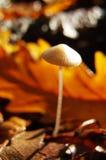 Uiterst kleine paddestoel in het bos royalty-vrije stock fotografie