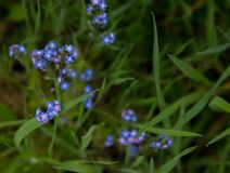 Uiterst kleine purpere bloei op groene stammen in het gras stock foto's
