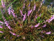 Uiterst kleine Purpere Bloemen Royalty-vrije Stock Afbeeldingen
