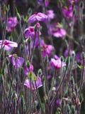 Uiterst kleine Purpere Bloemen Stock Afbeeldingen