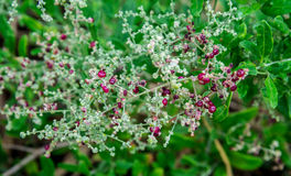 Uiterst kleine rode bessen op Berry Saltbrush in Koningenpark en Botanica Royalty-vrije Stock Fotografie