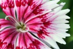 Uiterst kleine Rode Bloemen stock afbeelding
