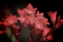 Uiterst kleine Rode Bloemen Stock Foto
